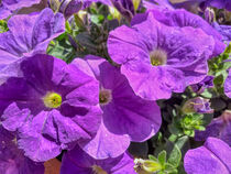 violette Petunien by Heike Loos