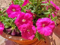 pinkfarbene Petunien von Heike Loos