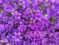 violette Glockenblumen von Heike Loos