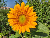 Sonnenblume by Heike Loos