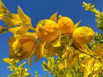 Zitronenbaum von Heike Loos