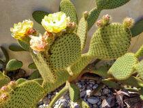 blühender Kaktus von Heike Loos