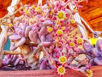 blühende Steingartenpflanze von Heike Loos