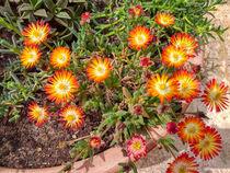 Delosperma, Mittagsblumen von Heike Loos