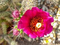 Kaktusblüte von Heike Loos