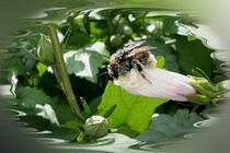 Bee in summer by feiermar