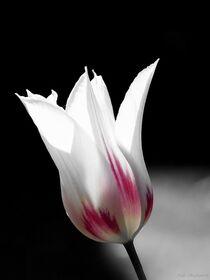 Tulpen - 2020 - 4 von maja-310