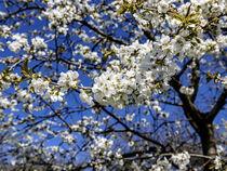 Kirschblüte von Harald Schottner