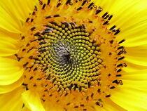 Sonnenblume von maja-310