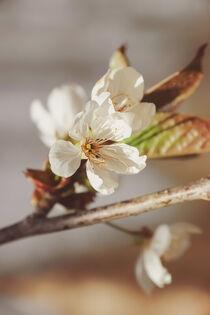 Apfelblüte  von Carmen Varo