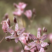 Sternblume von Carmen Varo
