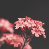 Blüten 001 by Carmen Varo