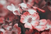 Blüten 002 von Carmen Varo