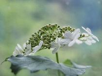 Weiße Blüten by Sylvia Benkmann