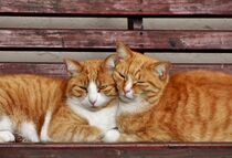 two ginger cats cuddling  by Werner Lehmann