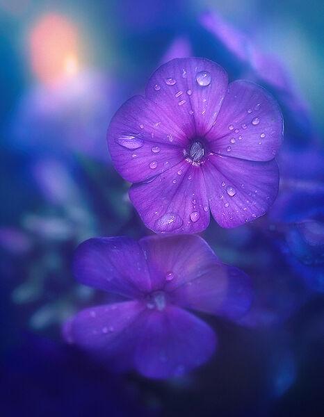Purple-flower-sun-40-end