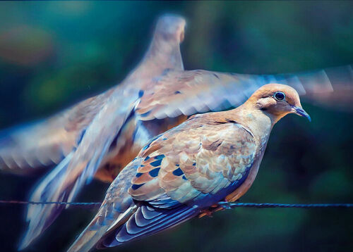 Dove-fly