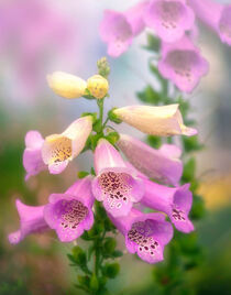 Foxgloves von William Schmid