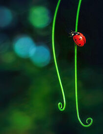The Lady Bug by William Schmid