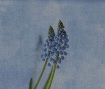 Grape hyacinth von Anne Seltmann