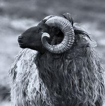 Das Horn von kiwar