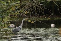 Graureiher an einem Teich mit Spiegelbild by Anja  Bagunk