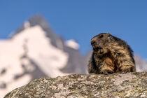 Alpenmurmeltier von Achim Thomae