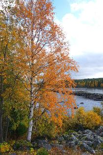 Birke Im Herbst an einem Ufer in Schweden von Mellieha Zacharias