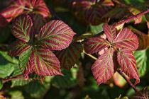 Blätter der Brombeere von Eric Fischer