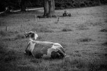 Kuh auf Wiese in schwarz weiß von Robert H. Biedermann