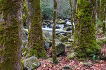 Moss Covered Trees by Phil Perkins