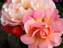 Most Beautiful Roses in Three Colors von bebra