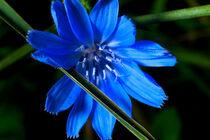 blue by Ridzard  König