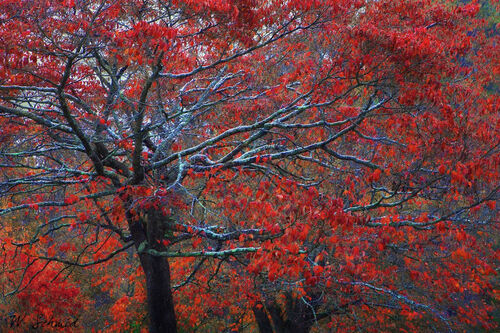Snow-tree-red-50-end
