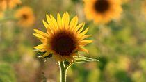 Sonnenblume, Leipzig, Sommer 2020 von aaristoteles