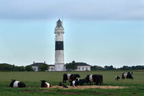 Leuchtturm und Kühe im Partnerlook von Bodo Balzer