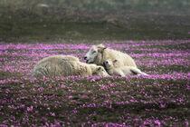 Schafe auf Grasnelkenwiese von Bodo Balzer