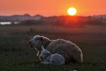 Schaf mit Lamm bei Sonnenuntergang von Bodo Balzer