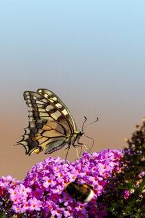 Schwalbenschwanz (Papilio machaon) by Dirk Rüter
