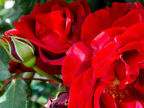 Amazing Blood Red Roses  by bebra