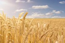 Getreidefeld von ollipic