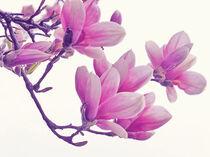 Magnolia von vogtart