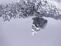 Schmetterling auf den Kopf von vogtart