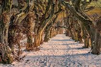 DE - Laupheim : Plane trees von Michael Naegele