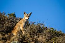 Kojote (Canis latrans) by Dirk Rüter