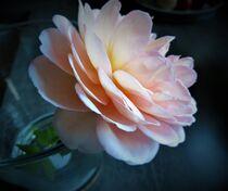 Englische Rose - voll erblüht von Heike Jäschke