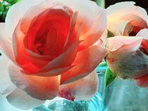 Englische Rose - im Licht von Heike Jäschke