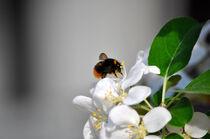 Pollensammler by Heinz Munk