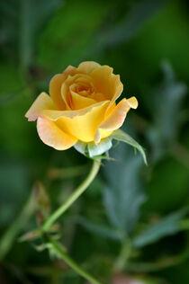 Eine Rose von Heinz Munk