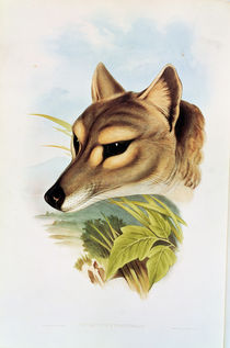 Tasmanian Wolf or Tiger  by Henry Constantine Richter